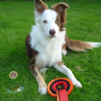 Banter CG 1-3 Helter Skelter Wessex Border Collie Show 27-08-2017